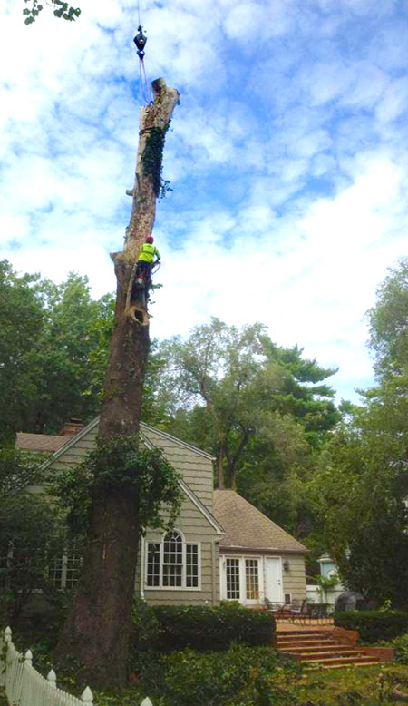 During Full Service Tree Maintenance