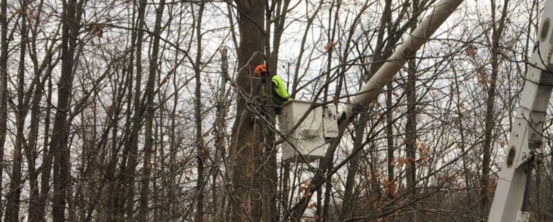 Tree in need of Winter Tree Pruning