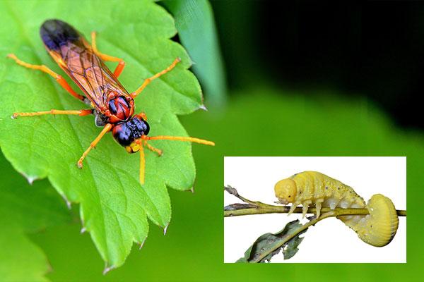 Sawflies