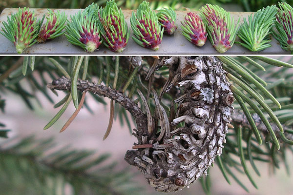 Spruce Gall Adelgids